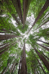 Under Muir Woods (Mike Ver Sprill - Milky Way Mike) Tags: under canopy trees tree forest muir woods california national park state landscape nature beautiful looking trunk large tall green