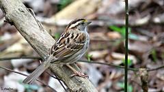 The Early Bird (Suzanham) Tags: bird smallbird animal tree perching passerine passer mississippi southern nature wildlife forest woodland woods carolinawren