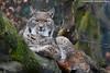 Eurasian lynx - Zoo Duisburg (Mandenno photography) Tags: dierenpark dierentuin dieren duitsland animal animals duisburg eurasian lynx european cat bigcat big zoo zooduisburg cats