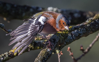 Chaffinch having a stretch