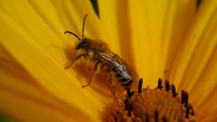 Let it bee (BeMo52) Tags: bee rudbeckia asteraceae yellow flower plant garden flora garten gelb biene insekten farben blüte petalen pollen makro macro smileonsaturday sunnyyellow