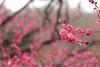 IMG_0643 (okiee8125) Tags: 梅の花