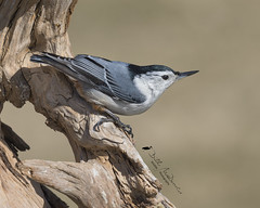 White-breasted Nuthatch (Bill McDonald 2016) Tags: nuthatch nutty whitebreasted ontario canada cambridge bird avian winter 2018 february log perched