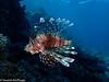 Pterois miles, Common Lionfish (Severin Korfhage) Tags: indischerrotfeuerfisch pteroismiles lionfish nature wildlife coralreef ocean sea predator dahab egypt corals