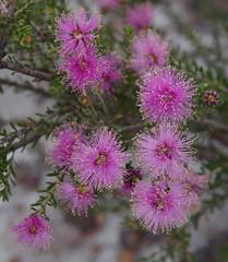 Melaleuca seriata, Wanneroo - Bullsbrook, near Perth, WA, 28/11/17 (Russell Cumming) Tags: plant melaleuca melaleucaseriata myrtaceae wanneroo bullsbrook perth westernaustralia