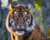 Crinkle Tongue (JKmedia) Tags: crinkle tongue big cat bigcat panther boultonphotography chesterzoo cheshire february 2018 portrait animal tiger stripes pantheratigris bokeh