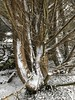 Beast of the East / Storm Emma - Ennis, Ireland - February 2, 2018 (firehouse.ie) Tags: subzero wintery snowstorm stormemma nature trunk trees ttee snowfall snowing snow