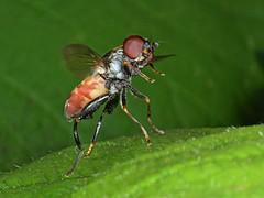 Rolf_Nagel-Fl-3007-Tropidia_scita (Insektenflug) Tags: tropidiascita tooththighedhoverfly keulengrashalmschwebfliege kølsvirreflue tropidia scita tooththighed hoverfly keulen grashalmschwebfliege schwebfliege køl svirreflue flight flying fliegend entomology wildlife syrphid insects airborne wilhelmshaven diptera deutschland fauna fliege fliegen flug germany niedersachsen insekt insekten insektenflug syrphidae insect imflug inflight minoltaerokkor75mm erokkor minolta rokkor 75mm envole en vole