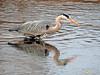 Garza real (Ardea cinerea) (21) (eb3alfmiguel) Tags: aves zancudas ciconiiformes ardeidae garza real ardea cinerea