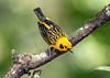 IMG_1280 Golden Tanager (suebmtl) Tags: bird birding goldentanager ecuador pichinchaprovince santadeo tangeraarthus