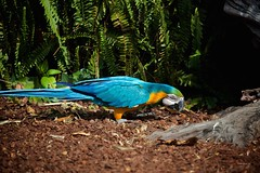 Arara (Carlos Santos - Alapraia) Tags: ngc ourplanet animalplanet canon nature natureza wonderfulworld highqualityanimals unlimitedphotos fantasticnature birdwatcher ave bird pássaro arara