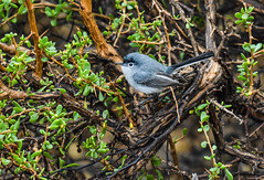 I will give you a moment (wesleybarr1962) Tags: bluegraygnatcatcher polioptilacaerulea gnatcatcher