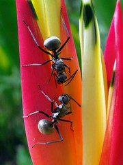 Agreeing. Polyrhachis armata, Many-barbed Armed Ant, on Parrot's Beak Heliconia, Heliconia psittacorum, Islamic Arts Museum Grounds, Kuala Lumpur, Malaysia (Rana Pipiens) Tags: parrot ant ranapipiens japan northamerica europe globalisation greek latin insects heliconia islam polyrhachisarmata manybarbedarmedant parrotsbeakheliconia heliconiapsittacorum sony exoskeleton rain