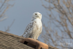 Something gets the Snowy Owl's attention