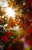 IMG_3779 (Matthew_Li) Tags: red leaf japan maple leaves