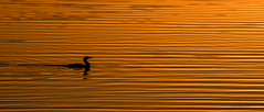 Dawn lines (OzzRod) Tags: pentax k1 hdpentaxdfa150450mmf4556 dawn water ripples orange gold bird cormorant cuttagee pentaxart