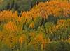 Indian Summer (louise peters) Tags: indiansummer herfst autumn fall berken berkenbomen birch birches forest sanjuannationalforest bos colourful kleurrijk herfstkleuren bomen trees colorado usa s amerika noordamerika america orange red oranje oranjerood