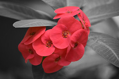 ... splash of color in an otherwise black and white world (pontla) Tags: flower red splash blackandwhite color