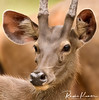 Anna Zoological Park, India (rvk82) Tags: 2016 animals annazoologicalpark chennai deer india june2016 nikkor200500mm nikon nikond500 photography rvk rvkphotography southindia vandalur vandalurzoo wildlife rvkonlinecom rvkphotographycom tamilnadu in