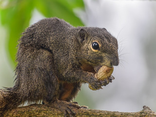 Qriental squirrel with a groundnut