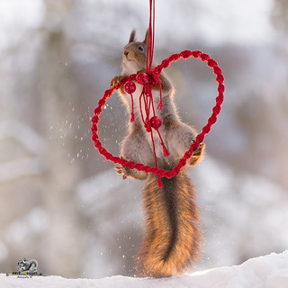 red squirrel climbing in an red heart