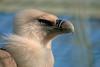 Gänsegeier (to.wi) Tags: towi wilhelma zoo vogel bird greifvogel geier gänsegeier aas