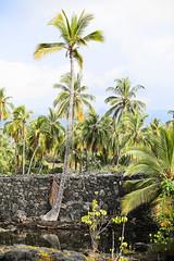 Palm Tree by Makaloa Pools (wyojones) Tags: puuhonuaohōnaunaunationalhistoricalpark pu'uhonua placeofrefuge hawaii bigisland makaloapools brackishwater ponds pools anchialineponds tides makaloa sedge mats undergroundsprings palmtree tall