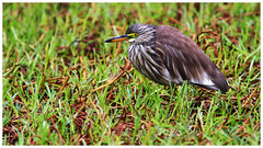 池鷺   Chinese Pond Heron (Alice 2018) Tags: nature hongkong 2018 canonef300mmf4lisusm canoneos7d eos7d canon 300mm bokeh wetland green brown water bird spring aatvl01