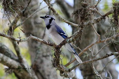 Blue Jay (Cyanocitta cristata) (Gerald (Wayne) Prout) Tags: bluejay cyanocittacristata animalia aves chordata passeriformes corvidae cyanocitta cristata pinktrumpettree highlandvillage cityoflakeland polkcounty florida usa prout geraldwayneprout canon canoneos60d eos 60d digital camera photographed photography birds blue jay perchingbirds songbirds wildlife animals nature pink trumpet tree highland village city lakeland polk county stateofflorida lakelandhighlands