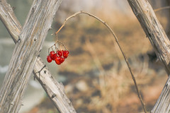 XO (vanessa violet) Tags: berry red berries winter tree wood fence rustic xo nature hff fencefriday friday
