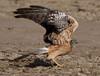 LRK18_107 (soggy_3_16) Tags: kutch rann nikon d750 200500 birds harrier montague