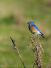 Western Bluebird (swirly) Tags: bayarea bird birds bluejay california naturephotography pointreyes westernbluebird wildlife