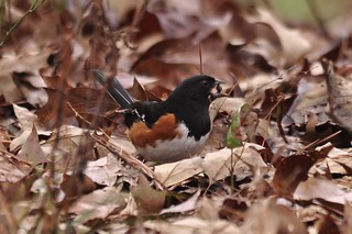 Mr. towhee gets the prize!