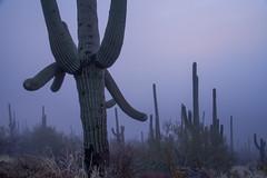 Tum031_small (patcaribou) Tags: tucson tumamochill sonorandesert fog cactii saguarocactus
