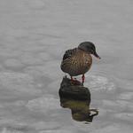 Bohinj, les canards du lac1712310900 thumbnail