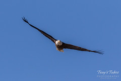 Bald Eagle approach and landing - 1 of 27
