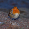 2017_12_0363 (petermit2) Tags: robin erithacusrubecula clumberpark clumber nottinghamshire sherwoodforest nationaltrust nt