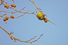 wild parrot (@Katerina Log) Tags: wild wildlife bird outdoor seads tree stick parrot park sky katerinalog sonyilce6500 18105f4 athens nature natura green florafauna