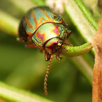 Rosemary Beetle thumbnail