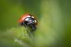 Ladybird (photalena) Tags: pentaconauto1850mc ladybird vintagelenses summer nature fauna tiny red green