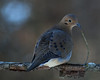 Mourning Dove (tomsoutpost) Tags: bird tree brown bokeh feather winter mourning dove morning eye beauty nature spots nikon prime lens d7000 grey white