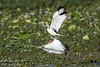 水雉-3 (Ah-TaiTai) Tags: 台灣 taiwan 高雄 kaohsiung 自然 生態 野生 動物 wild animal 鳥 bird 飛羽 羽毛 靜態 nikon d5500