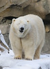 234A8082.jpg (Mark Dumont) Tags: animals bear cincinnati dumont mammal mark polar snow zoo