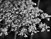 Lace (John Neziol) Tags: jrneziolphotography portrait monochrome blackwhite macro outdoor flower florafauna flowers garden bokeh brantford beautiful bright nikon nikoncamera nikondslr nikond80 nature naturallight queenanneslace lace wildflower wildflowers