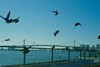 dove_1440214 (strange_hair) Tags: tokyo japan street sea odaiba bridge dove bluesky sky