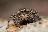 Aelurillus v-insignitus ♀ (Jerome Picard) Tags: aelurillusvinsignitus salticidae saltique spider salticidé saltic arthropod arthropoda arachnid araignée araignéesauteuse jumpingspider france fr