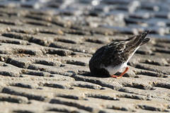 """Anyone at home"" or ""You can't see me"" (roger_forster) Tags: arenariainterpres turnstone wild bird keyhaven hampshire hiwwt concrete seawall"