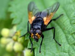 Noon Fly - Mesembrina meridiana (Carrie Williams_13) Tags: diptera noonfly mesembrinameridiana muscidae blackandorange insect invertebrate nikond3100 nikon sigma macro wildlife suffolkwildlifetrust suffolk knettishallheath uk fly