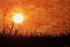 No wall will stop us....HSS!!! (Joe Hengel) Tags: nowallwillstopus ephrata ephratapa pennsylvania pa sunset sun sunlight sunglare weeds field brickwall silhouette silhouettes evening eveninglight eveningskies hss happyslidersunday slidersunday