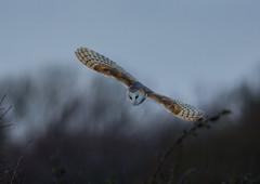 JWL0995  Barn Owl.. (jefflack Wildlife&Nature) Tags: barnowl owl owls raptors birdsofprey birds avian animal animals wildlife wildbirds woodlands farmland forest moorland marshland meadows heathland hedgerows countryside norfolk nature